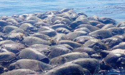 300 Tortuga ecocidio oaxaca