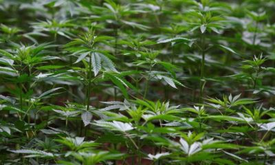 Morena ley marihuana