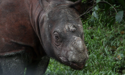 Rinoceronte, Tam, Rinocerontes, Animales, Muere, Extintos, Asia, Malasia,