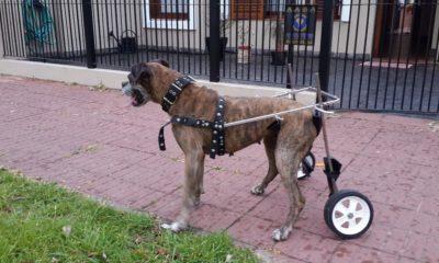 Perros, silla de ruedas,