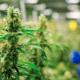 Marihuana, México, Salud, Regulación, Senado, Morena,