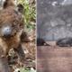Koalas, Australia, Incendio, Mueren, Muerte, Isla,