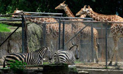 Gobierno de CDMX gastará 100 mdp para renovar zoológicos
