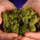 Marihuana, Dictamen, Menchaca, Cannabis, Empresarios,