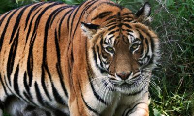Tigre en Zoológico de NY da positivo a pruebas de coronavirus